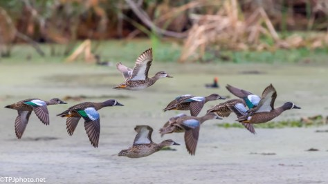 Blue Wing Teal Fly By - Click To Enlarge