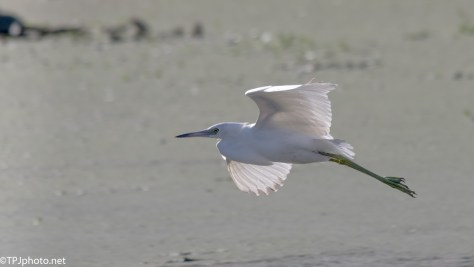 Snowy Egret Fast Flight - Click To Enlarge