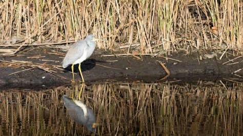 Tricolored Heron By The Reeds - Click To Enlarge