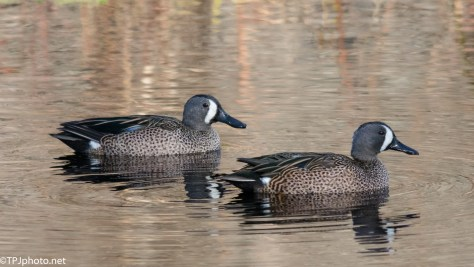 Blue Wing Teal - Click To Enlarge