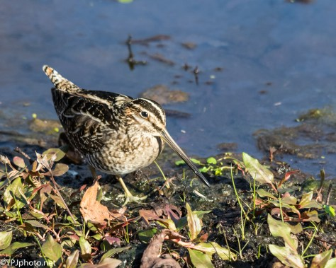 Common Snipe - Click To Enlarge