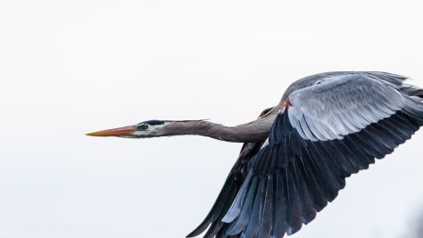 Heron Too Close - Click To Enlarge