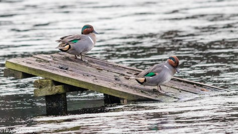Green-winged Teal - Click To Enlarge