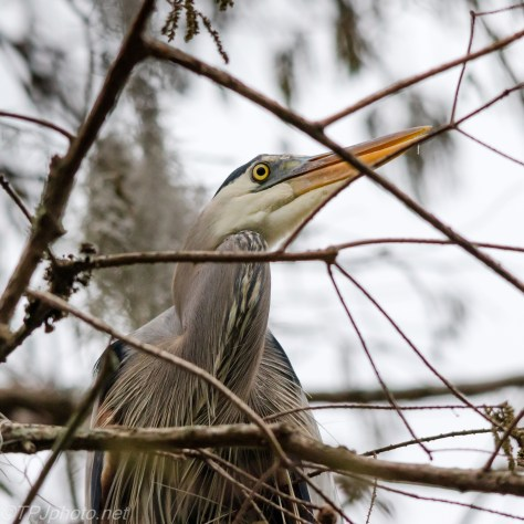 Great Blue Heron, Straight Up - Click To Enlarge