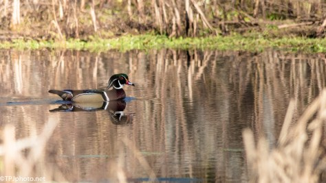 Unexpected Wood Duck - Click To Enlarge