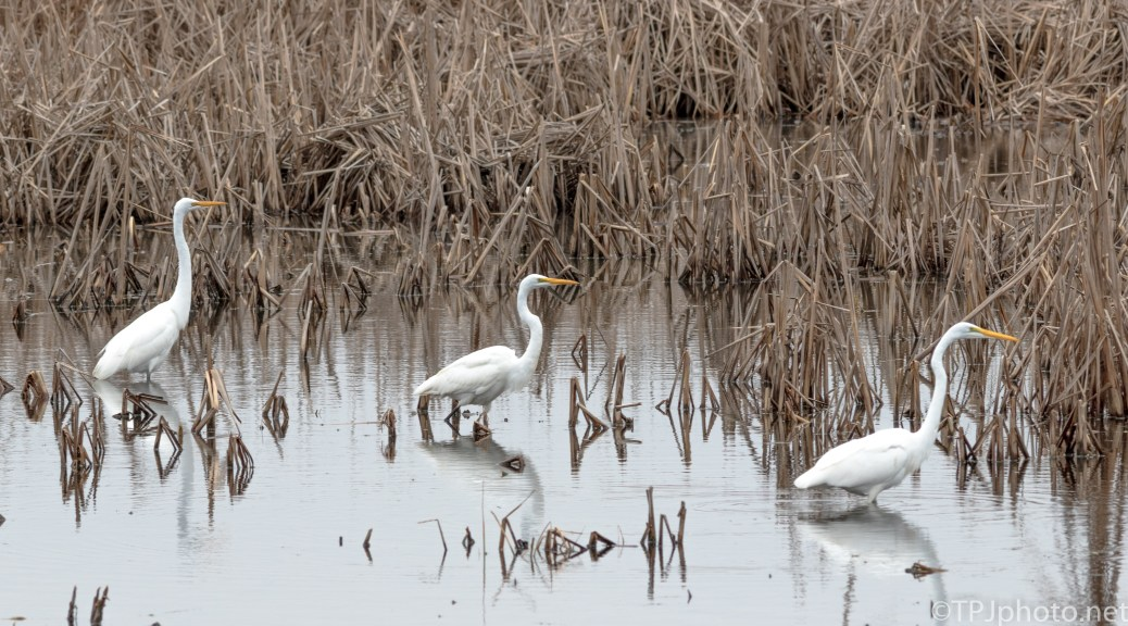 Great Egrets Strutting - Click To Enlarge