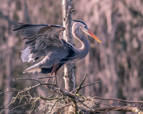 Great Blue Heron Claiming Nest - Click To Enlarge