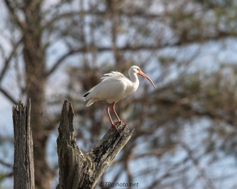 White Ibis - Click To Enlarge