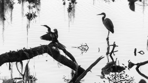 Marsh Birds Black And White - Click To Enlarge