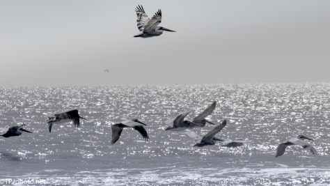 Pelicans - Click To Enlarge