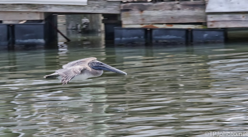 Pelican Low Fly By - Click To Enlarge