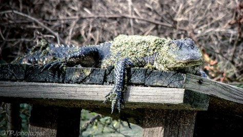 Alligator Had A Rough Night - Click To Enlarge
