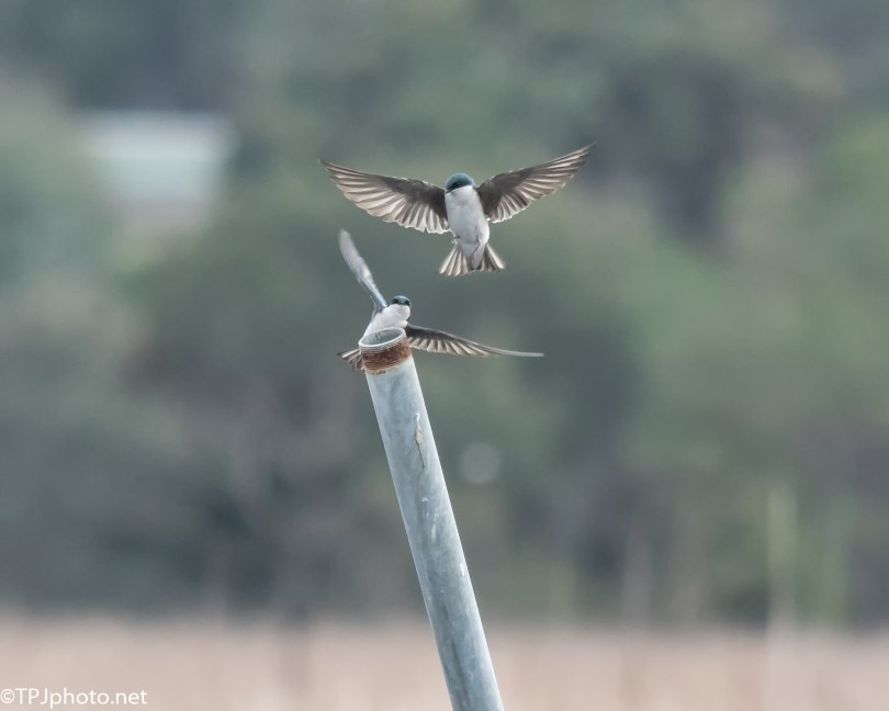 Swallows, In Flight Speed Dating - Click To Enlarge