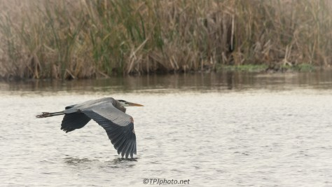 Great Blue Heron Low In The Marsh - Click To Enlarge