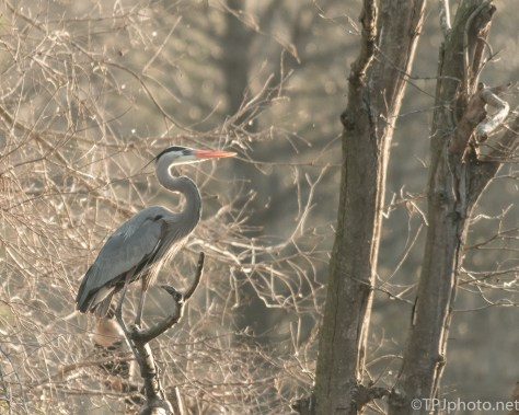 Great Blue Heron In The Morning - Click To Enlarge