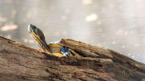 Yellow-bellied Slider - Click To Enlarge
