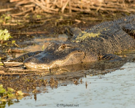 Alligator In The Sun - Click To Enlarge
