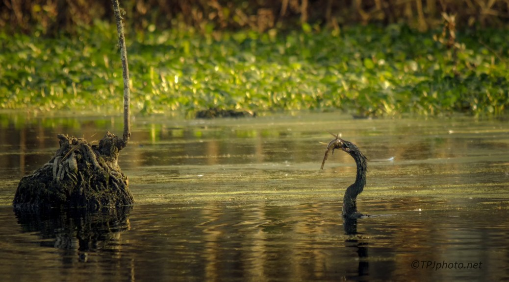 Anhinga After A Successful Dive - Click To Enlarge