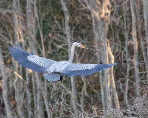 Heron Still Fetching Sticks - Click To Enlarge