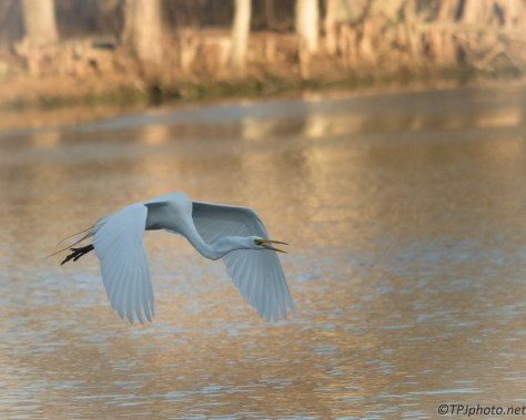 Egret Fly By - Click To Enlarge