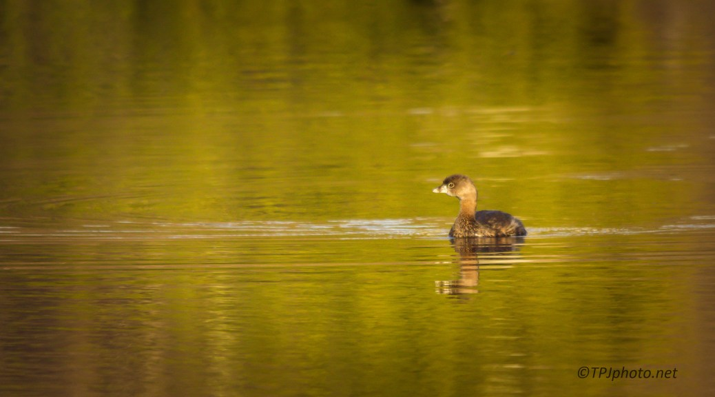 Pied-billed Grebe At Night - Click To Enlarge