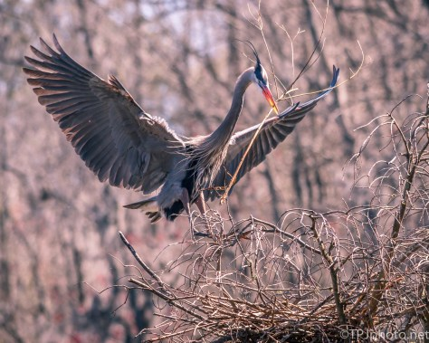 Single Great Blue Heron Building Nest - Click To Enlarge