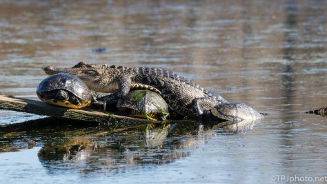 Come'in Through, Alligator - Click To Enlarge
