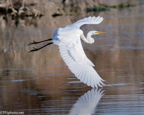 Great Egret Low Over Swamp - Click To Enlarge