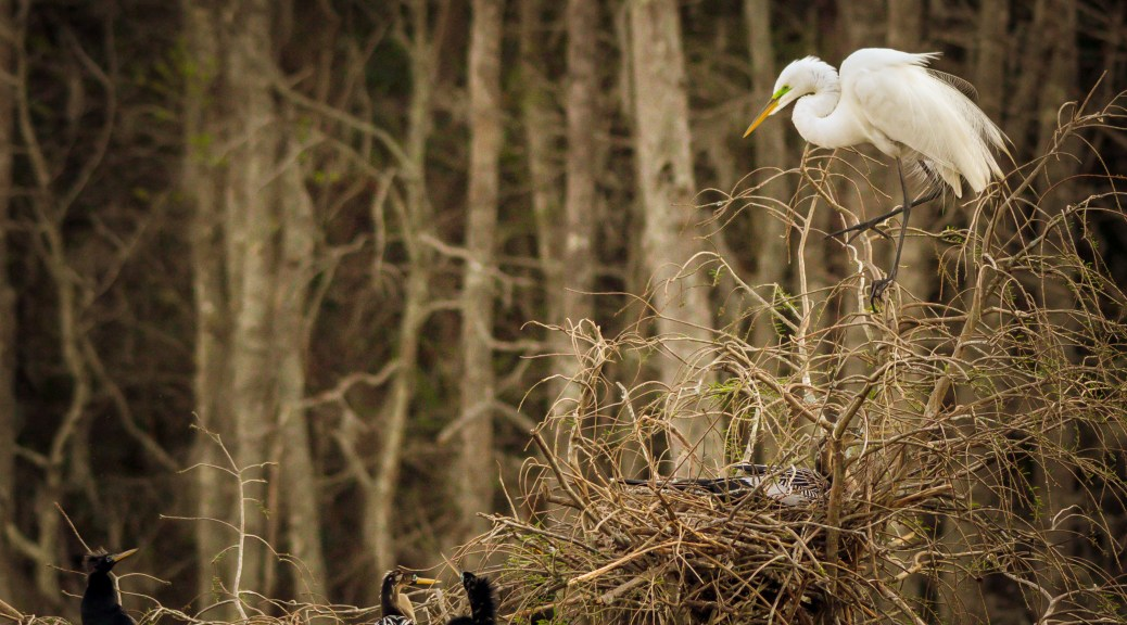 Full House, Egret, Anhinga - Click To Enlarge
