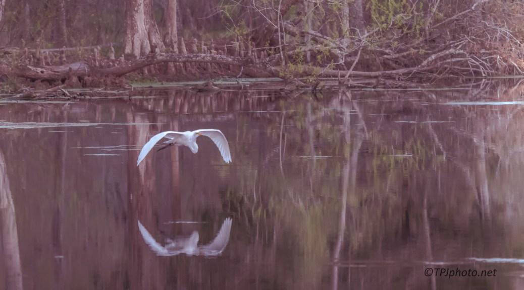 Egret Over Swamp - Click To Enlarge