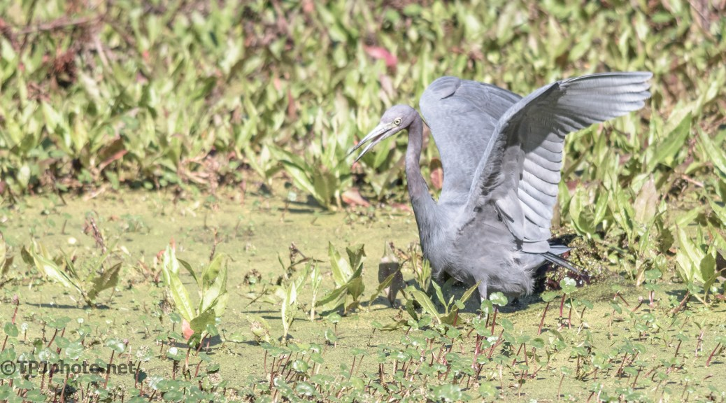 Little Blue Heron Deep Water - Click To Enlarge