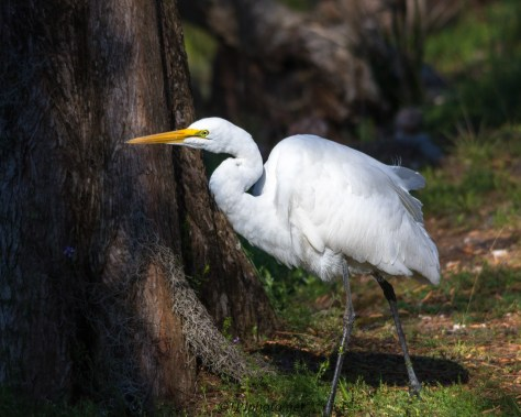 Great Egret Sneaking By - Click To Enlarge