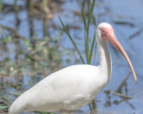 Ibis Close Up - Click To Enlarge