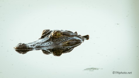Alligator Portrait - Click To Enlarge
