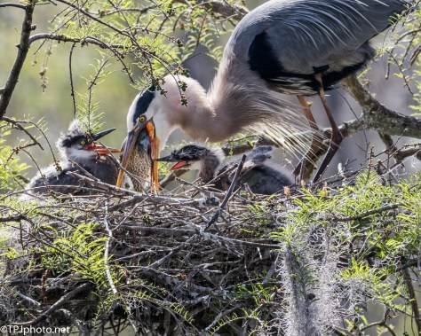 Tale Of Two Herons, Feeding - Click To Enlarge