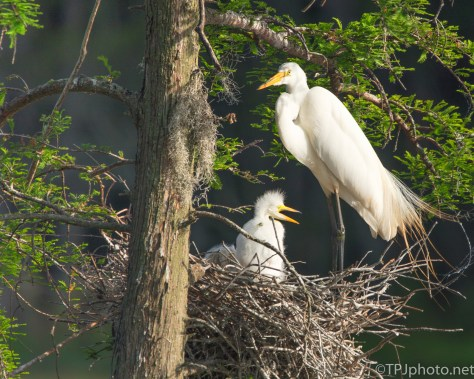 Great Egret Nest - Click To Enlarge