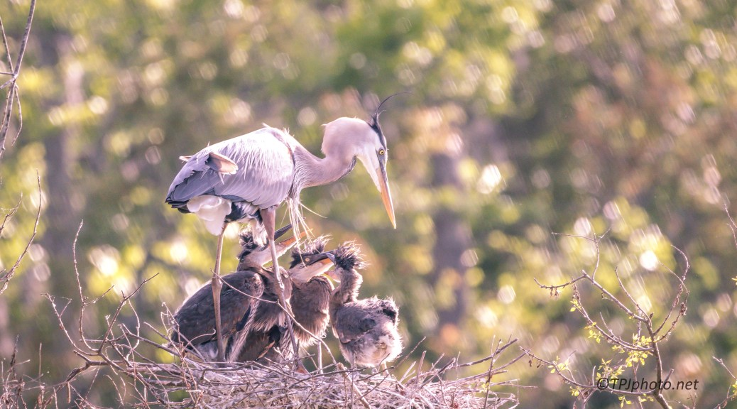 Great Blue Heron Triplets - Click To Enlarge