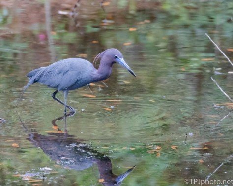 Little Blue Heron In Full Color - Click To Enlarge