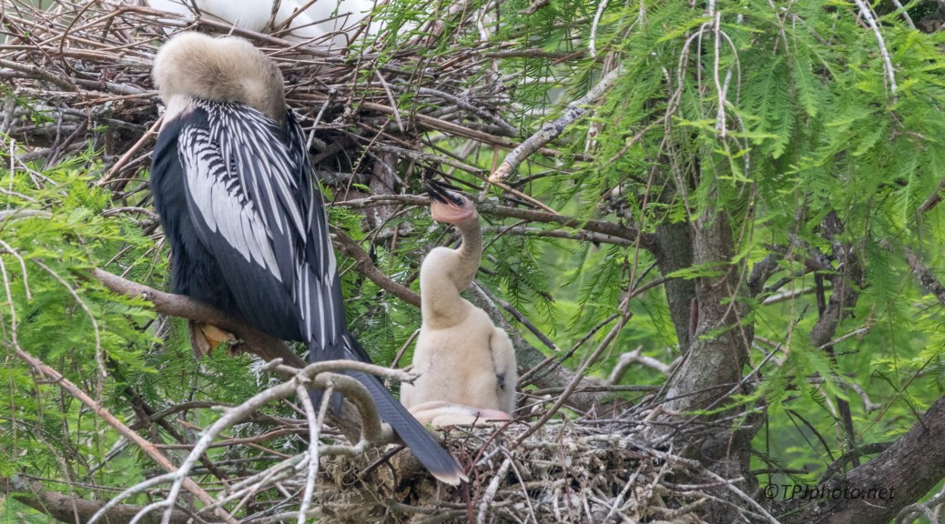 Not All Babies Are Cute, Anhinga - Click To Enlarge