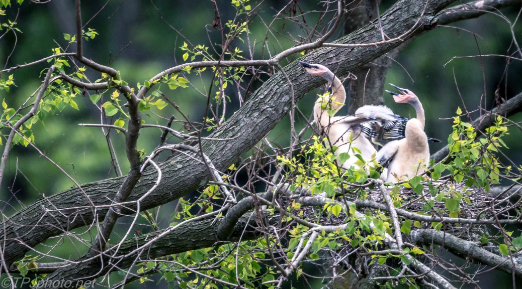 Baby Anhinga Chicks Looking For Food - Click To Enlarge