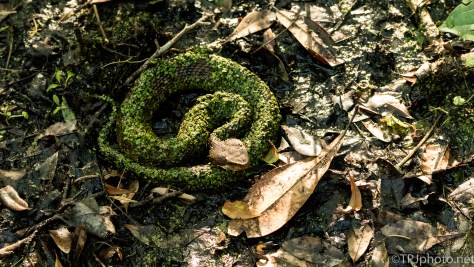 Cottonmouth, Perfect Camouflage - Click To Enlarge