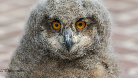 Great Horned Owl, 6 Weeks - Click To Enlarge