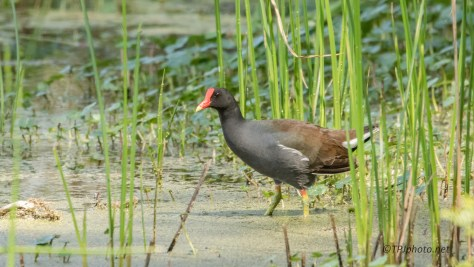 Gallinule Going Slow - Click To Enlarge