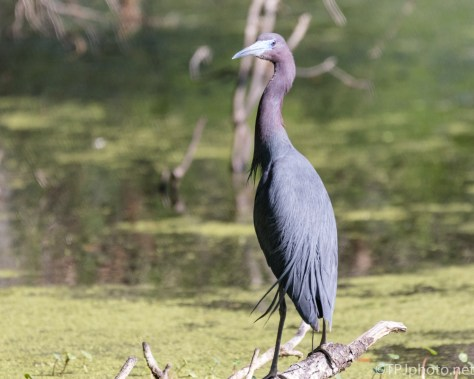 Little Blue Heron Over The Swamp - Click To Enlarge