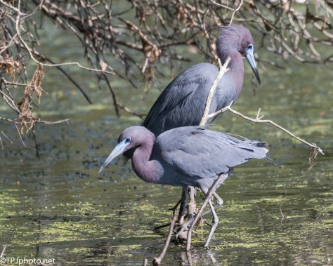 Pair Of Little Blue Herons - Click To Enlarge