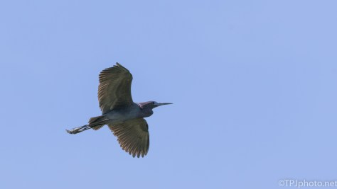 Little Blue Heron In Flight - Click To Enlarge