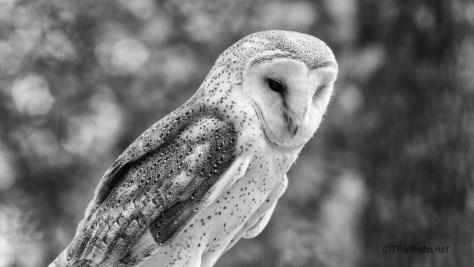 Barn Owl, Black And White - Click To Enlarge