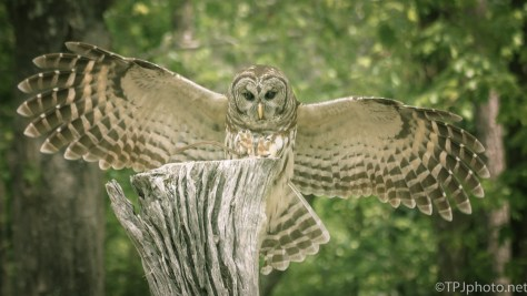 Owl, Smooth Landing - Click To Enlarge