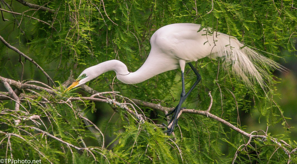 Great Egret In A Juniper - Click To Enlarge