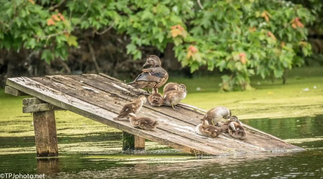 The Wood Ducks - Click To Enlarge